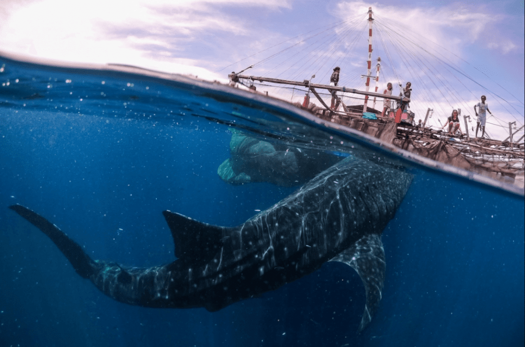 """Whale Shark Encounter in West Papua"" by Marco Zaffignani. Teluk Cenderawasih National Park, Indonesia. Remarkable Artwork"