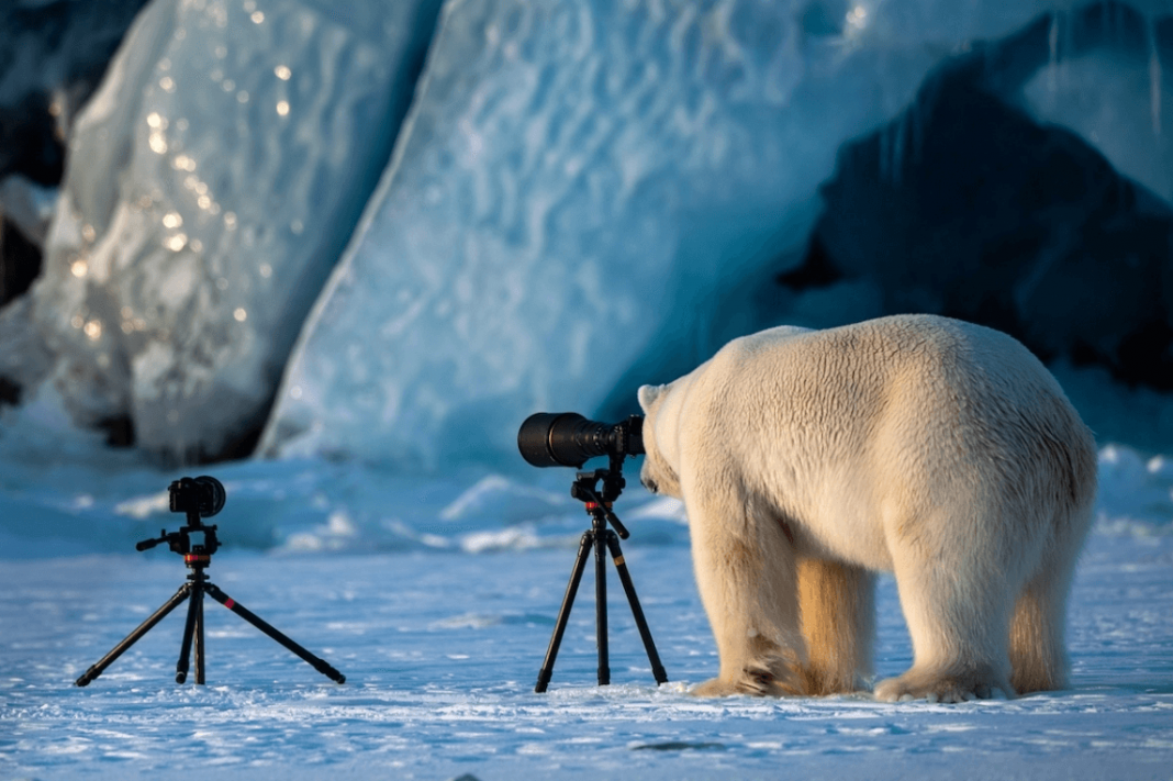 """Polar Bear Changing Careers"" by Roie Galitz. Svalbard, Norway. Honorable Mention"