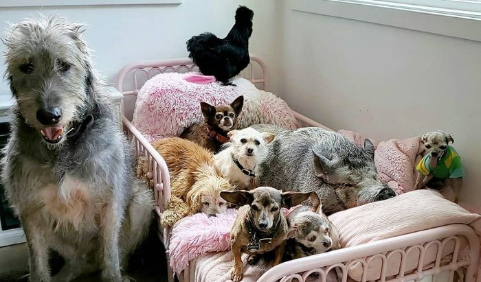 A man adopts senior dogs