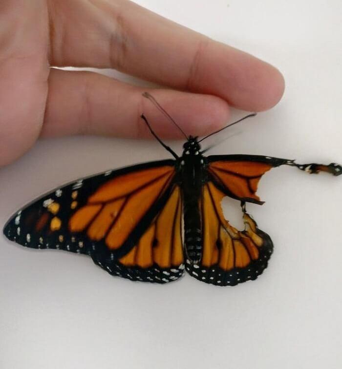 women give butterfly wing transplant