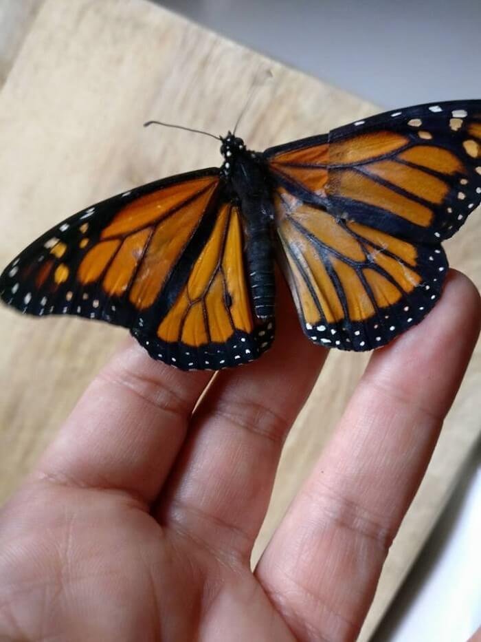 A Girl Performed Surgery on Butterfly