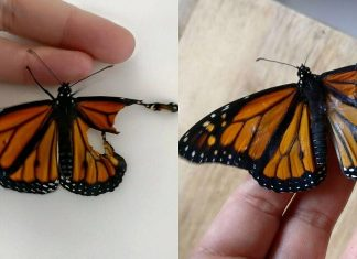 Girl Performed Surgery on Butterfly with Broken Wings: It Was a Surprise