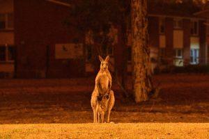 480 million animals died in Australia forest fire