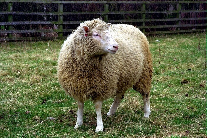 Dolly Sheep proved cloning is possible