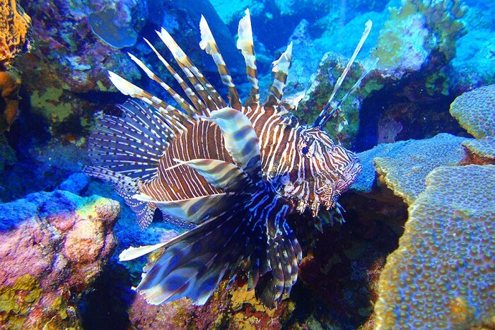 Flower Garden Banks: A Lionfish