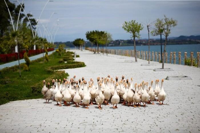 Geese in Adana