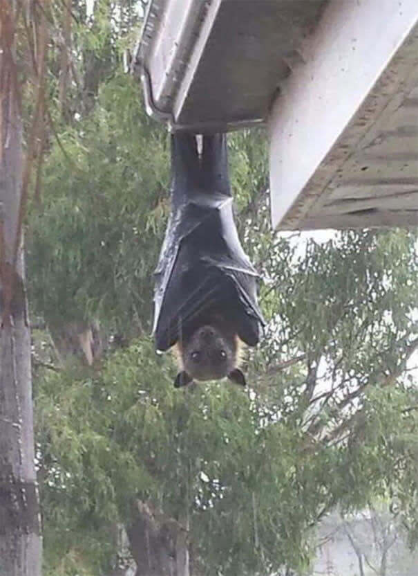 The great flying fox