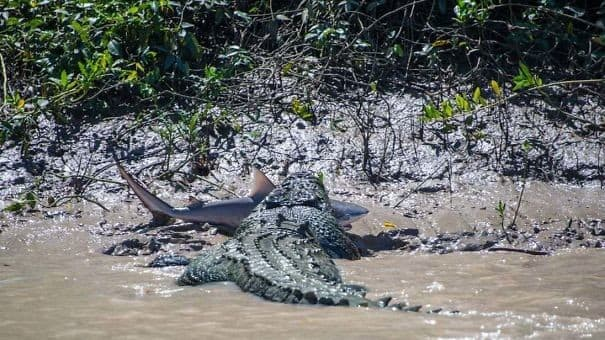 Crocodile vs Shark