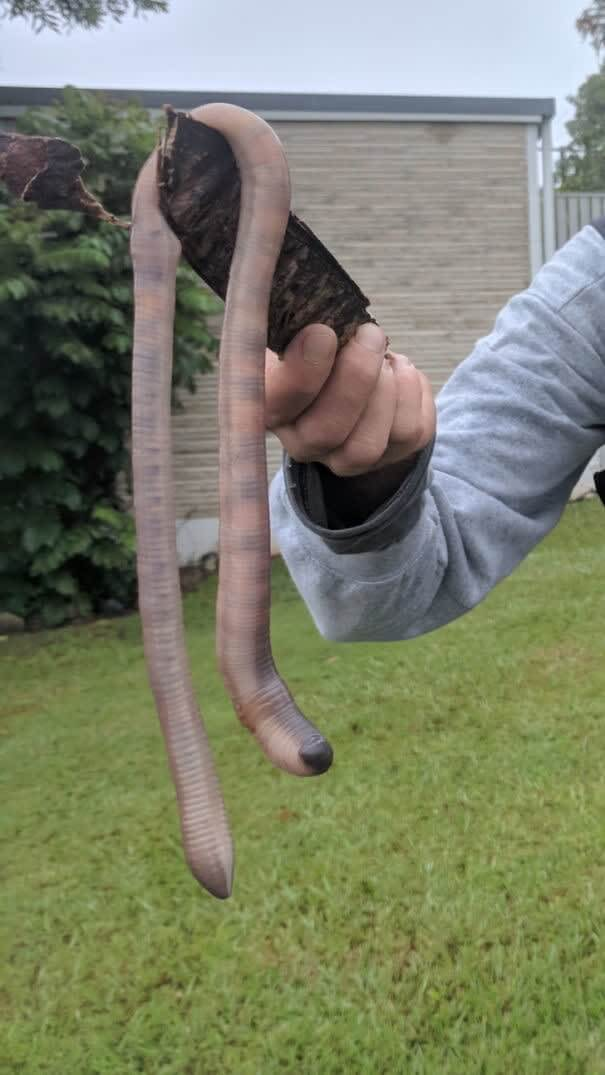 Earthworms in Australia