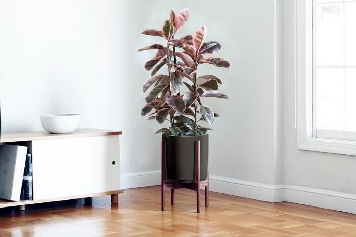 Ruby Rubber Tree